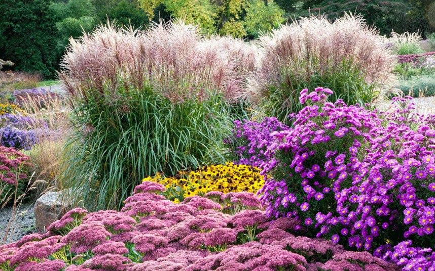 Осенний сад на даче-Трава Мискантус китайский, фиолетовые хризантемы, желтая рудбекия, розовый очиток