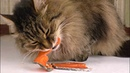 Salmon is the less favourite red fish in diet of cat: Perseus eats salmon