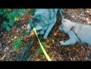 [Хаски Бандит] DOGVLOG: ХАСКИ ПОЕТ и ИГРАЕТ НА ГИТАРЕ! Говорящая собака