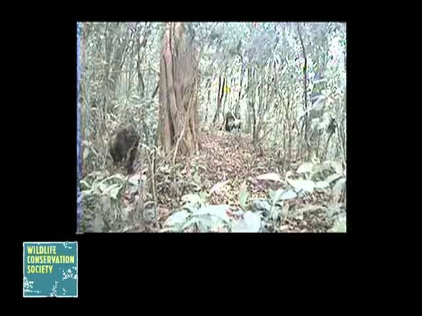 Rare Footage of Cross River Gorillas Captured by Wildlife Conservation Society