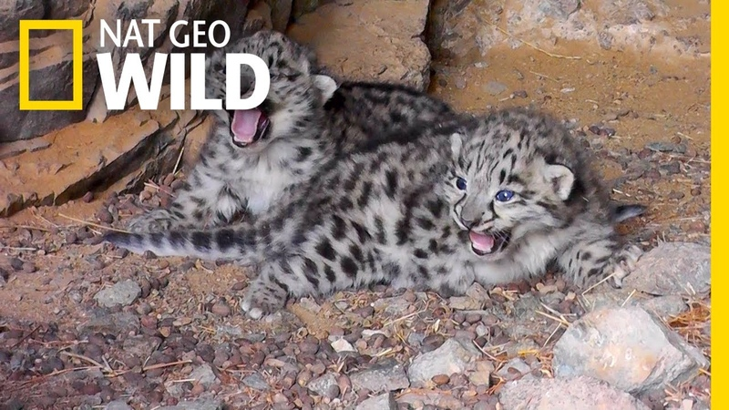Endangered Snow Leopard Cubs Spotted in the Wild Nat Geo Wild