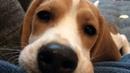 Beagle puppy licks camera lens, makes cutest noise