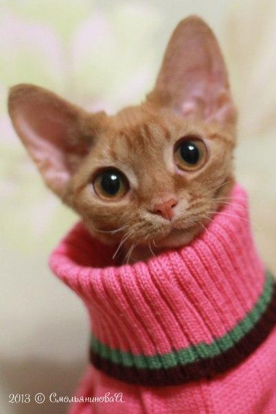 Девон Рекс кошки из Долины КроСава