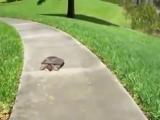Черепаха дала дёру от испуга