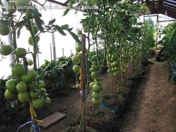 Томаты в ведрах Каждый из садоводов-огородников постепенно накапливает бесценный опыт при выращивании садово-огородных культур. Иногда возникают ситуации, которые могут привести обычного