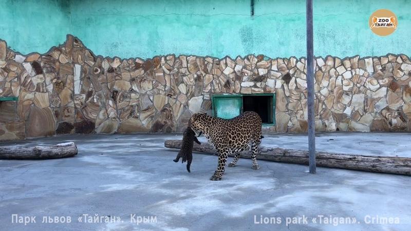 Котята леопарда разбегаются от мамы. Тайган. Крым. Leopard kittens run away from mom. Taigan Crimea.