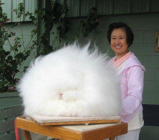 Эта необыкновенная пушистая подушка на самом деле - ангорский кролик. )