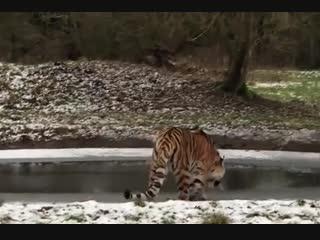 Тигр и лёд