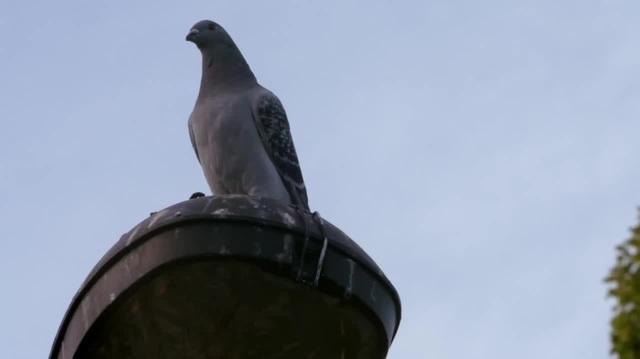 Дерзкий голубь