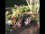 Хрюшки -пчелки!