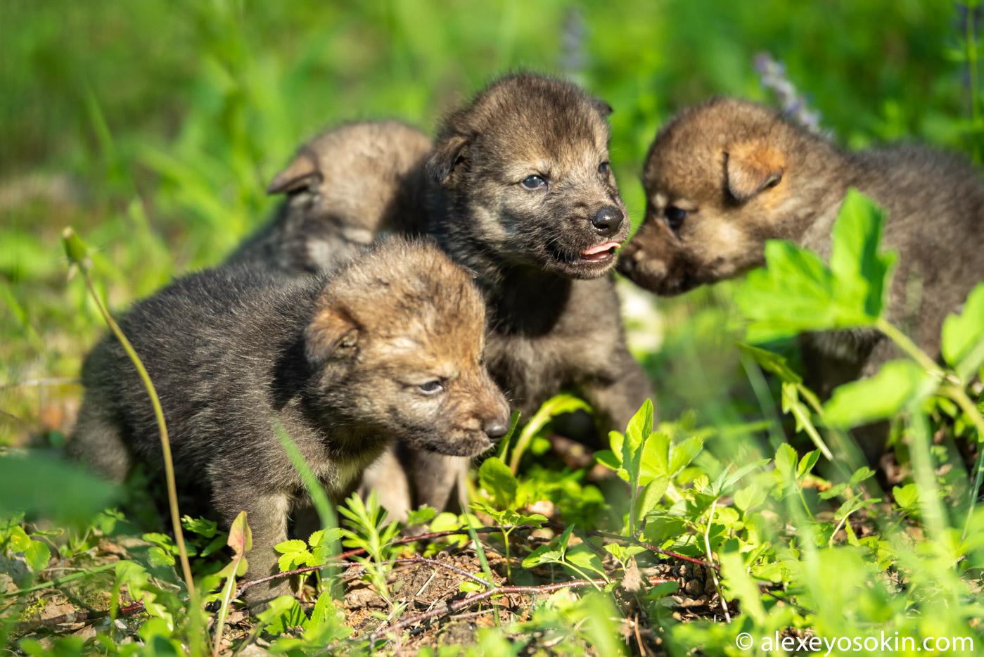JH DlKbE0hs - Фото новорожденных волчат