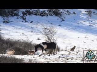 Лошадь тусует среди волков и не боится их