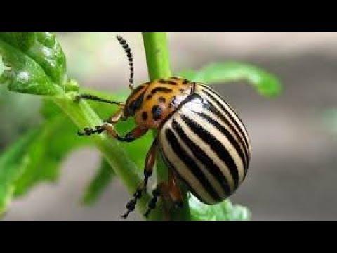 Простой способ навсегда избавиться от колорадского жука