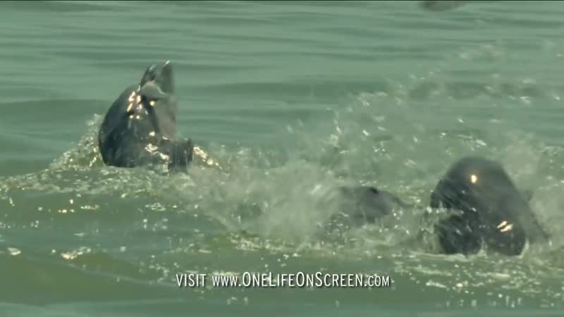 Дельфины обманывают рыбу грязевыми сетями Одна жизнь BBC