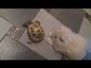 Львёнок и черепаха.