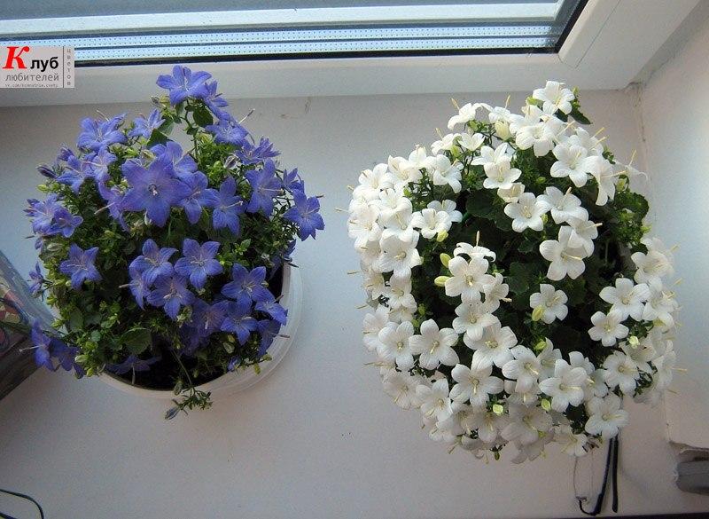 Цветок жених и невеста фото купить