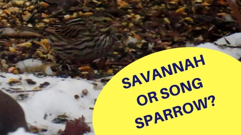 Savannah or Song Sparrow Feeding 2019