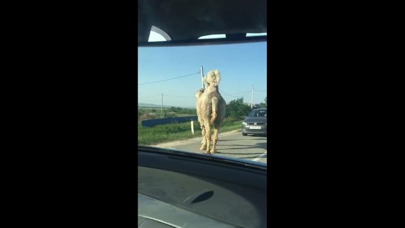 Верблюд переходит дорогу Анапа