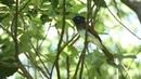 Japanese paradise flycatcher Чёрная райская мухоловка Terpsiphone atrocaudata