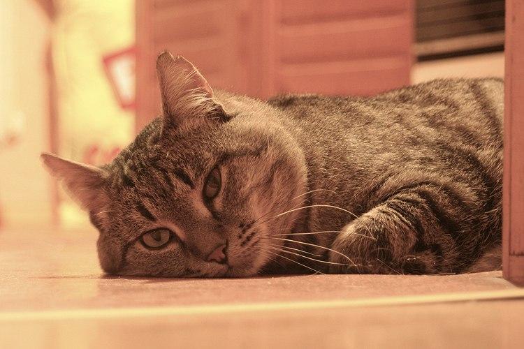кот Кранец лишается