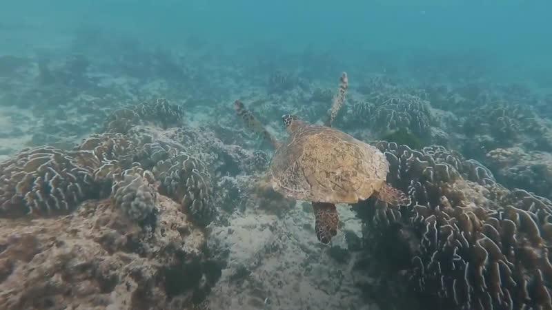 Черепаха на Симиланских островах » Freewka.com - Смотреть онлайн в хорощем качестве