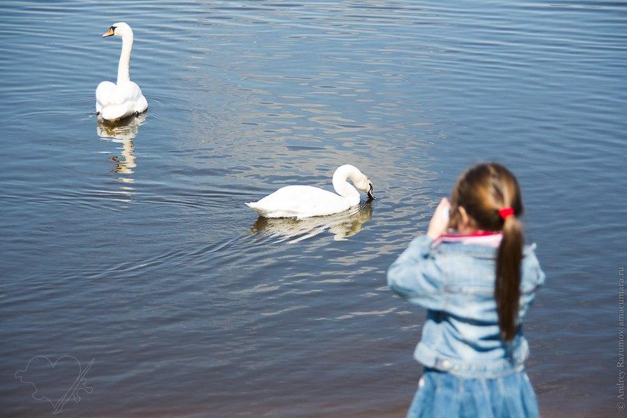 Лебеди на реке Вилли