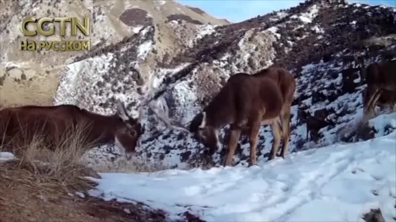 Беломордые оленьи под инфракрасными камерами