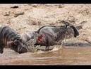 Cá sấu OMG Hippo Destroy Crocodile Save wildebeest Crocodile fail ▬ Lion vs crocodile vs buffalo