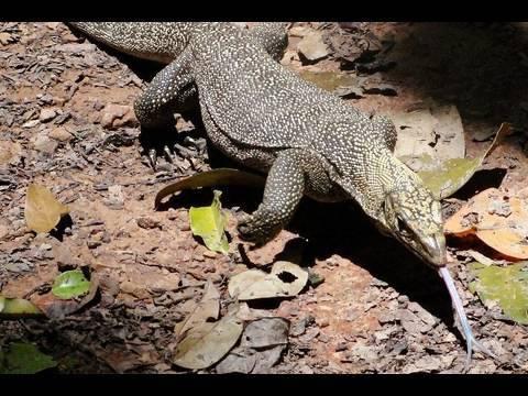 Нильский варан ест небольшую змею