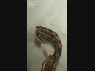 Линька гигантского крабового паука