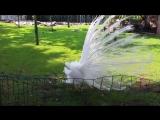 Павлин альбинос. Будва Черногория