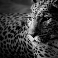 """Схема вышивки  """"Ч/б леопард """": таблица цветов."""