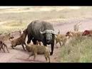Гиены против буйвола
