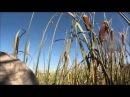Открытие охоты на гусей. 2013. Канада. Часть 2.