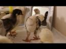 Цыплята фавероль орпингтон и зеркало
