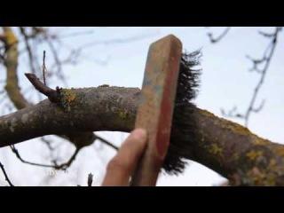 Что делать с лишайником и мхом на деревьях?