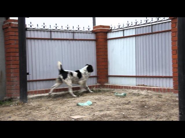 ЛЮБИМАЯ ШАХНАЗА 2г9мес - собака питомника ТИМЕРТАШ (октябрь 2013)