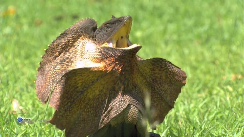 Мир живой природы VI (Чудеса природы) 2. Бегающие рептилии. Плащеносная ящерица. Австралия