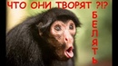 Приколы с обезьянами смешно до слез
