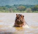 Рассерженный бегемот. Ему не нравится, что лодка заплыла на него территорию.