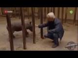 Даже детёныши носорогов являются очень опасными существами