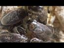 Gromphadorhina portentosa VS Nauphoeta cinerea. кормовые тараканы