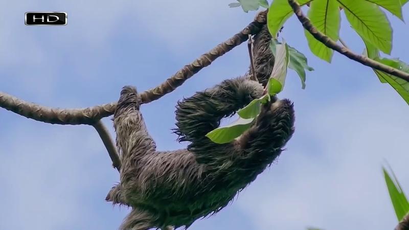 Амазонка Ленивцы