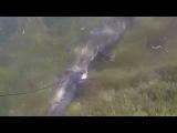 Нападение змееголова! Змееголов пытается отобрать подстреленного сазана, жуткое зрелище! 08.2014