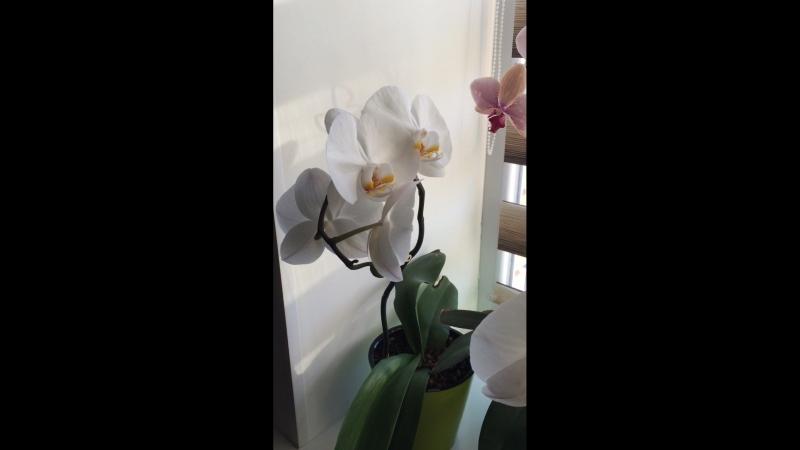 Орхидеи🌺мои любимые цветы 💐 зацвели все вместе 👍