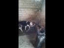 возбужденные бычки mp4
