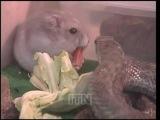 Змея дружит с хомяком