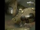Гигантская анаконда съедает добычу