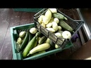 Квашеные кабачки, патиссоны, огурцы. Ферментированные продукты.