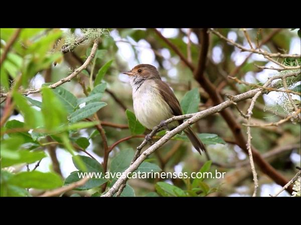 Tawny-crowned pygmy tyrant / Белобрюхий земляной тиранчик / Euscarthmus meloryphus